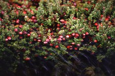 Cranberry pianta
