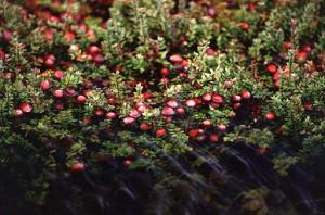 512px-Cranberry_bog