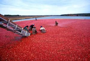 512px-Cranberrys_beim_Ernten