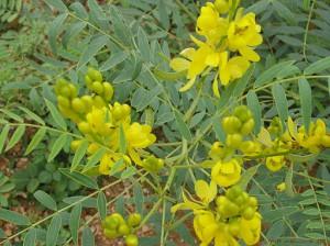 Senna_alexandrina_Mill.-Cassia_angustifolia_L._Senna_Plant 2