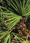 palma nana ipb