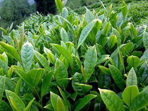 foglie di te verde