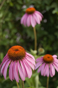 256px-Echinacea-purpurea