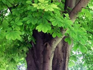 Ippocastano corteccia e foglie