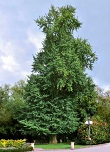 Ginkgo albero