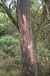 Pygeum africanum o Prugno africano