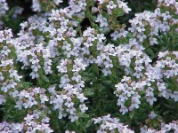 timo fiori